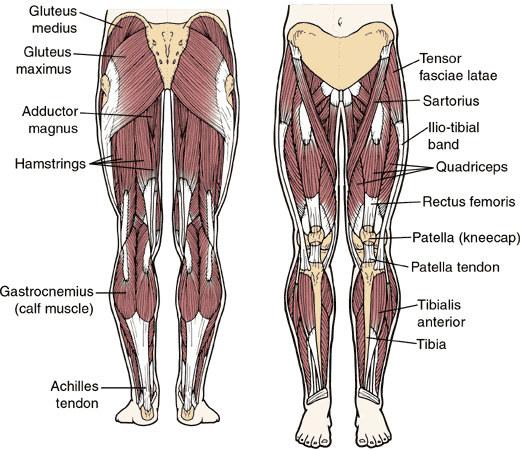 leg muscles anatomy - photo #6